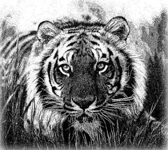 Tiger Picture Etched on Granite